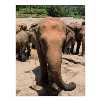 Elephant group portrait, Sri lanka Postcard