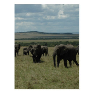 Elephant herd Maasai Mara, Kenya Postcard
