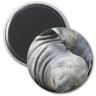 Elephant Seal Magnet Refrigerator Magnet