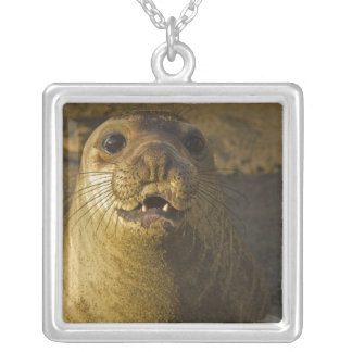 Elephant seal rookery near San Simeon in Big Silver Plated Necklace