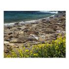 Elephant Seal Rookery Postcard