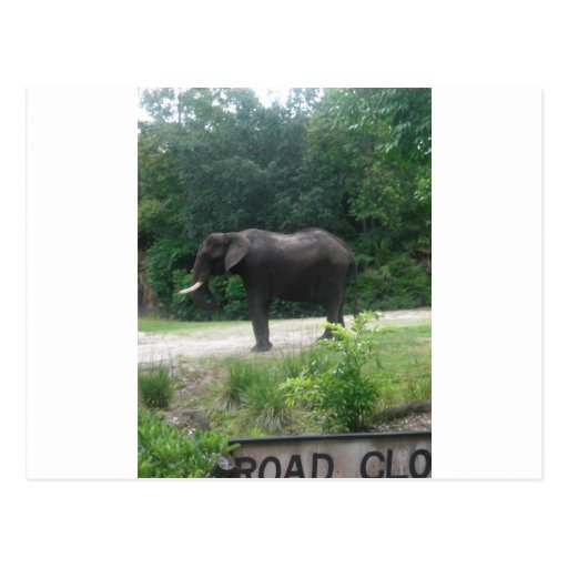 Elephant Standing Regally Postcards