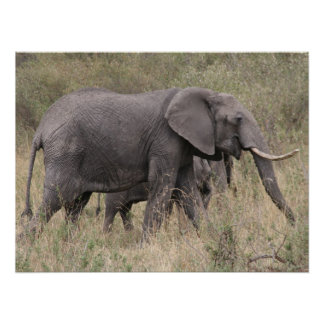 elephant tusked posters