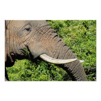 Elephant Tusks Posters