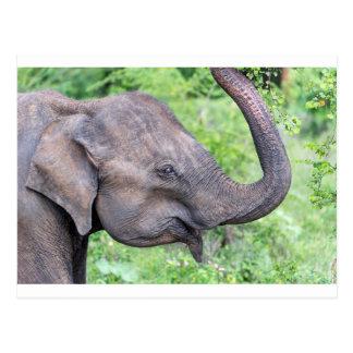 Elephant, Udawalawe, Sri Lanka Postcard