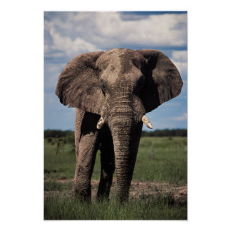 Elephant young male poster