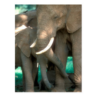 Elephants Protecting Young Postcard