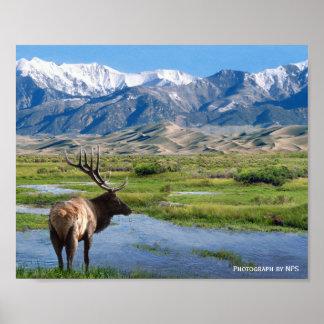 Elk at Great Sand Dunes National Park Print