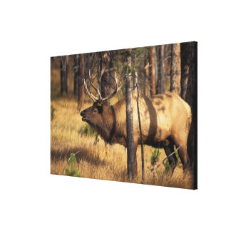 elk, Cervus elaphus, bull bugles in a burnt out Stretched Canvas Print