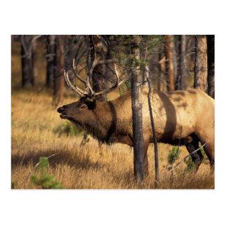 elk, Cervus elaphus, bull bugles in a burnt out Postcard