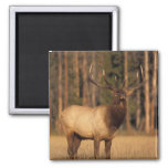 elk, Cervus elaphus, bull eating grasses in a Square Magnet