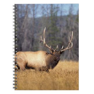elk, Cervus elaphus, bull in a field in Note Books