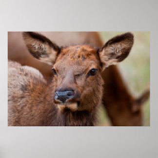 Elk (Cervus Elephus) Calf With Winter Hair Poster