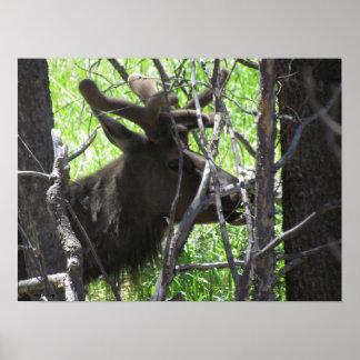 Elk in Estes Park Colorado Poster