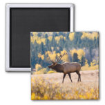 Elk in Rocky Mountain National Park, Colorado Square Magnet