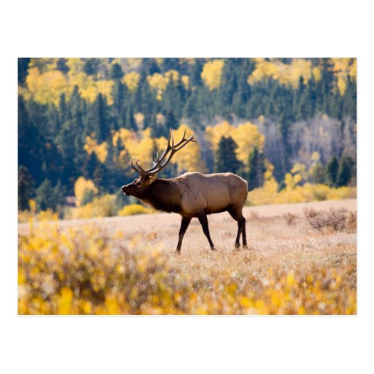 Elk in Rocky Mountain National Park, Colorado Postcard