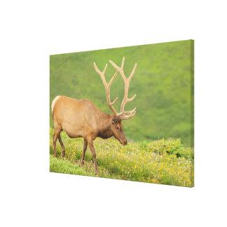 Elk in velvet walking, Colorado Canvas Print