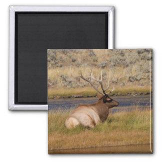 Elk Magnet
