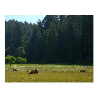 Elk Meadow at Redwood National Park Postcard