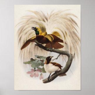 Elliot - Paradisea minor - Lesser Bird Of Paradise Poster