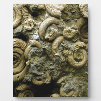 embedded snails fossils plaque