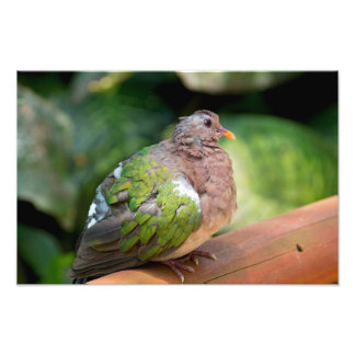 Emerald Dove Profile and Perch Photo Print