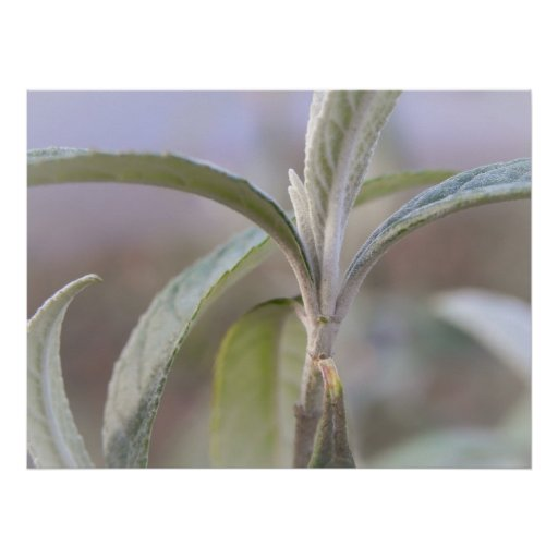Emerging Growth - Buddleia Poster