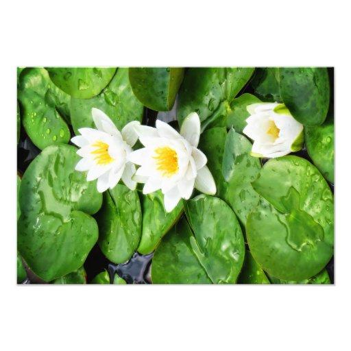 Emerging Lotus Flower Photo