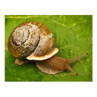 Emerging Snail Postcard