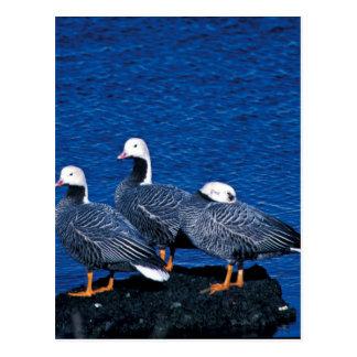Emperor Geese at Adak Island Clam Lagoon Postcard