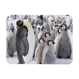 Emperor Penguin and Chicks Rectangular Photo Magnet