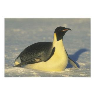Emperor Penguin, Aptenodytes forsteri), Art Photo