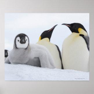 Emperor Penguin (Aptenodytes forsteri) Poster