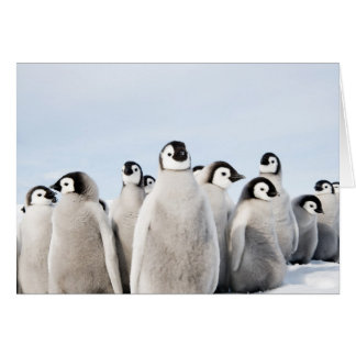 Emperor penguin chicks Card