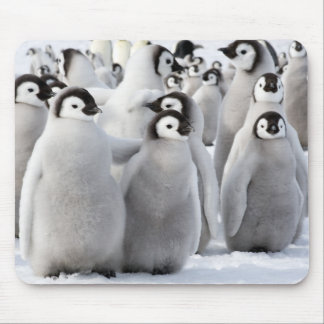 Emperor penguin chicks mouse pad