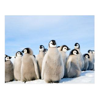 Emperor Penguin Chicks postcard