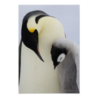 Emperor Penguin looking at chick Posters