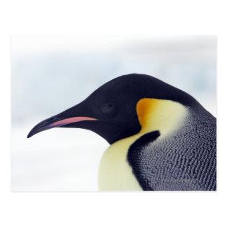 Emperor Penguin, Snow hill island, Weddel Sea Postcard