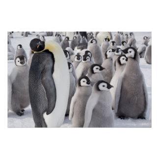 Emperor penguin with chicks poster