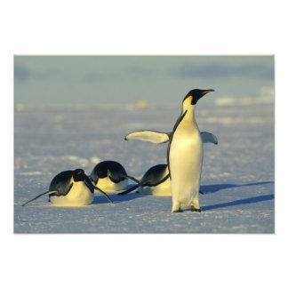 Emperor Penguins, Aptenodytes forsteri), 2 Art Photo