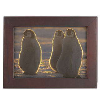 Emperor Penguins, Aptenodytes forsteri), 2 Keepsake Box