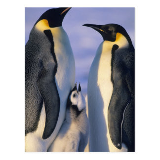 Emperor Penguins (Aptenodytes forsteri) Adults Postcard