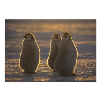 Emperor Penguins, Aptenodytes forsteri), Art Photo