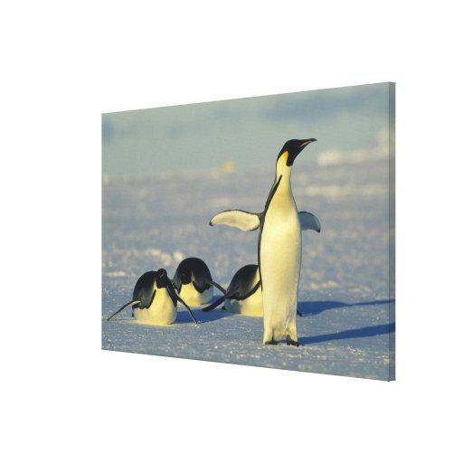 Emperor Penguins, Aptenodytes forsteri), Stretched Canvas Print