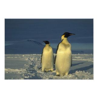 Emperor Penguins, Aptenodytes forsteri), Mt. Art Photo
