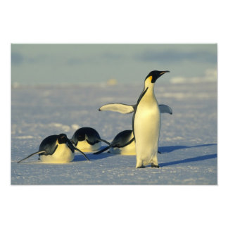 Emperor Penguins, Aptenodytes forsteri), Photographic Print