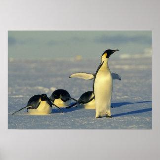 Emperor Penguins, Aptenodytes forsteri), Poster