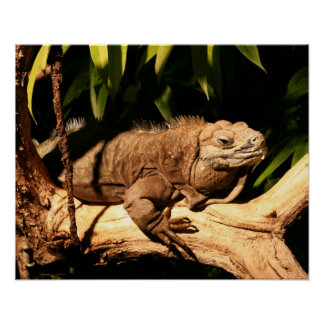 Endangered Jamaican Iguana, Cyclura collei Poster
