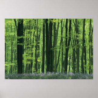 England, Beech forest & Bluebells Poster