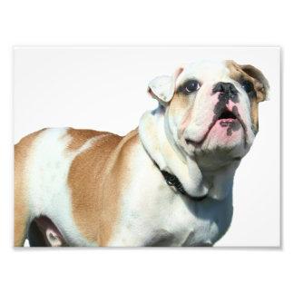 English bulldog photo print